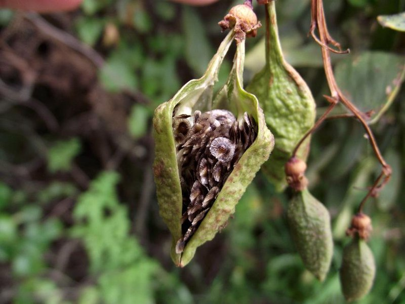 Eccremocarpus scaber - semi-fruits