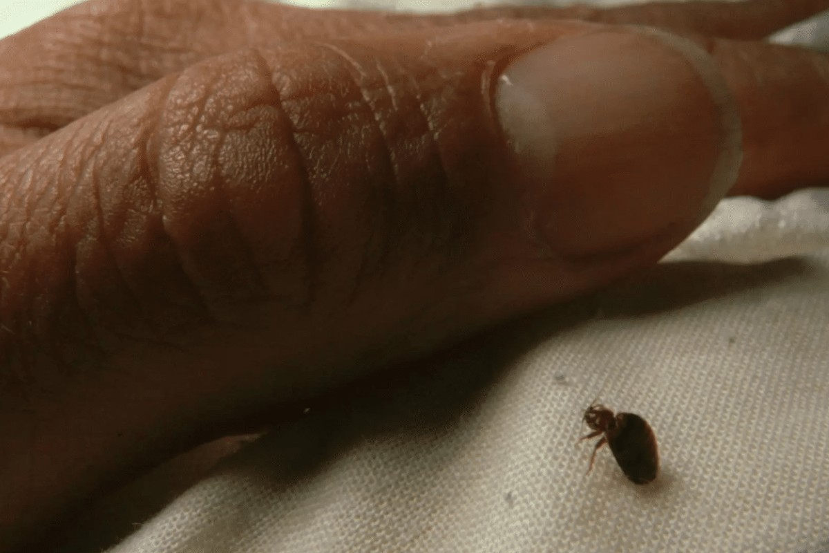 Bed bugs how to recognize the bites and how to intervene 3