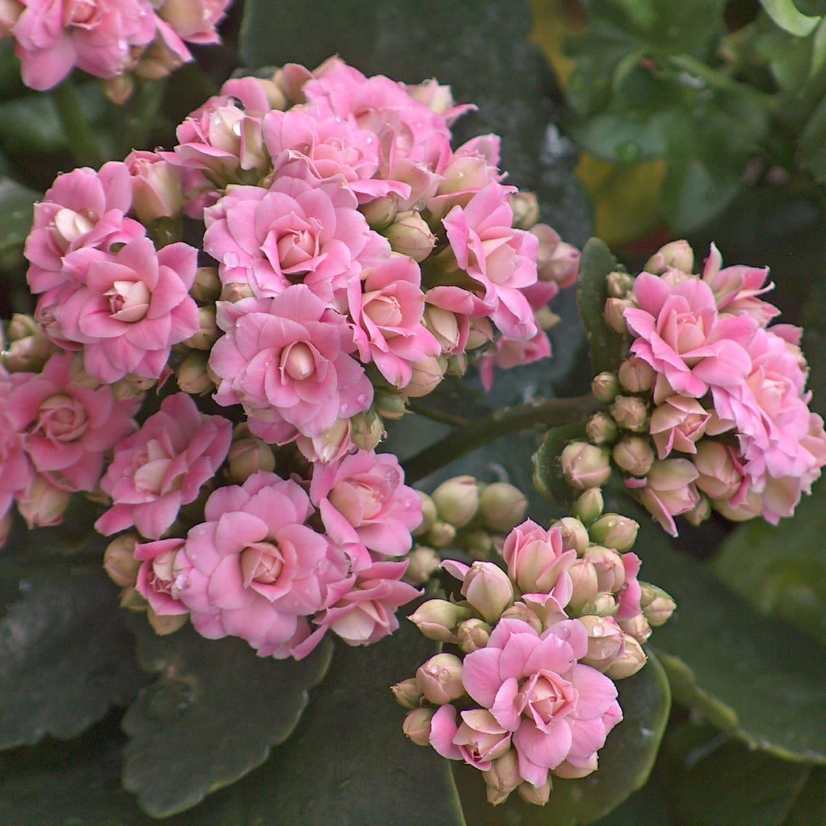 succulents-flowers-kalanchoe