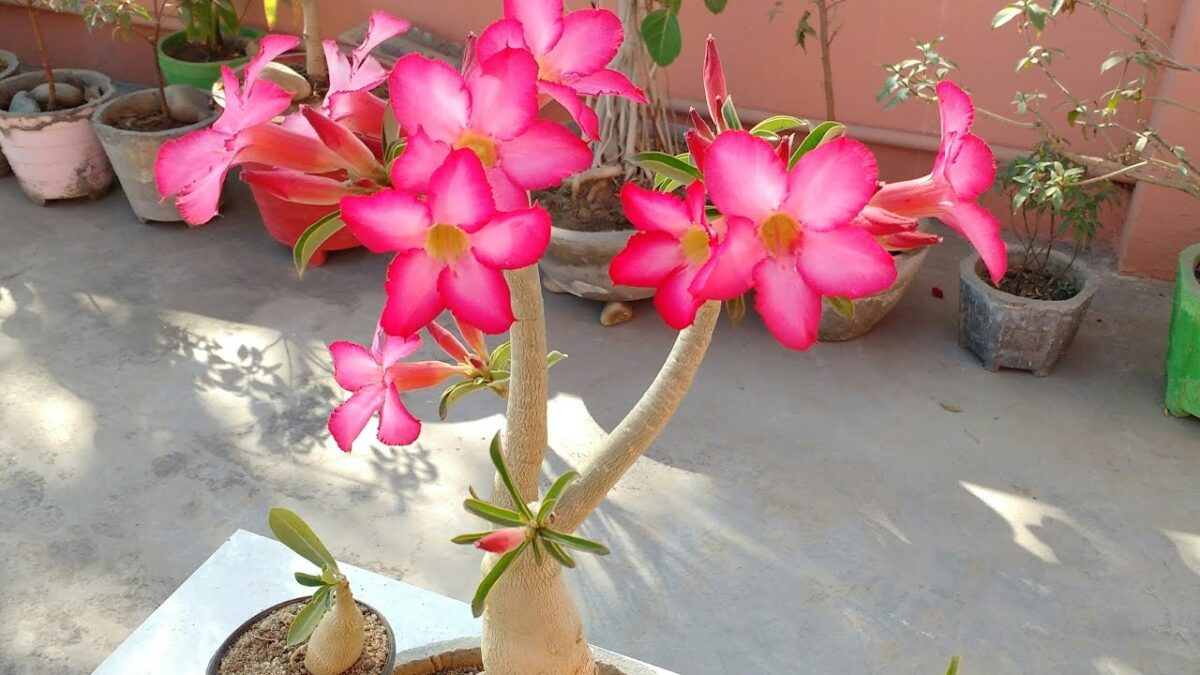 succulents-flowers-adenium