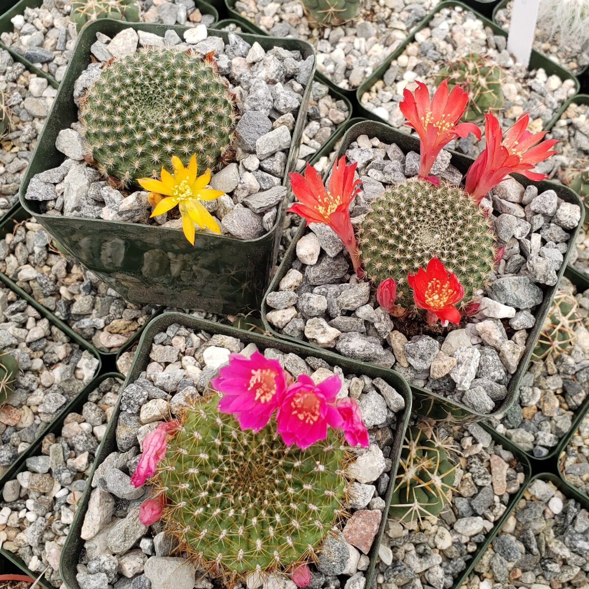 succulents-flowers-rebutia