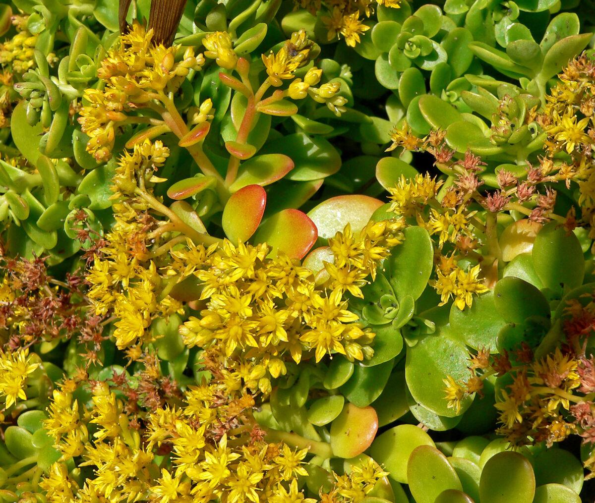 succulents-flowers-sedum-palmeri