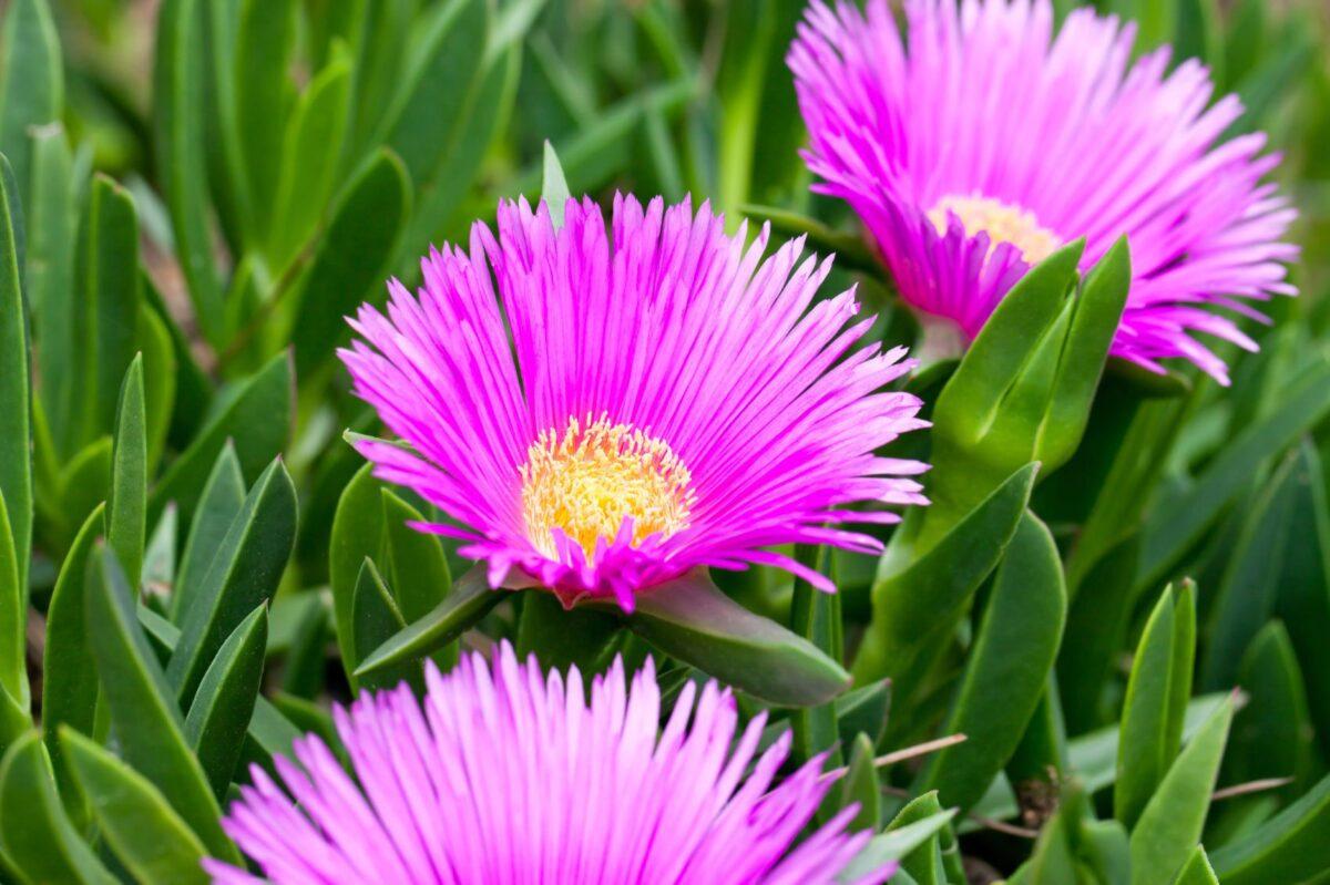 succulents-flowers-delosperma
