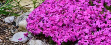 Phlox- Muschio rosa