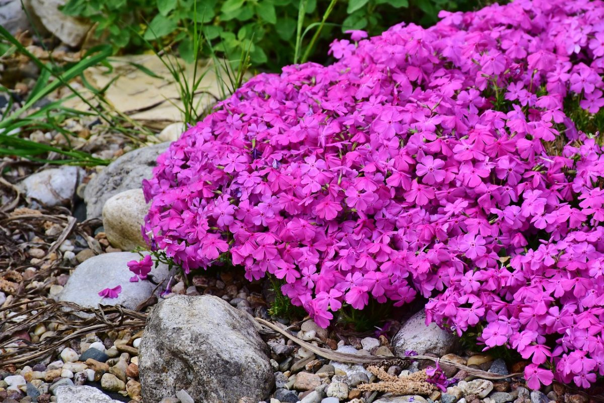 Phlox- Pink moss