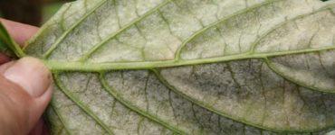 Riconoscere le malattie delle piante dalle foglie 4